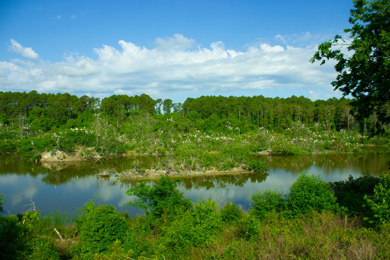 Image of the woodstork rookery in saint marys georgia